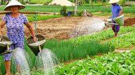 Village de légumes de Tra Que