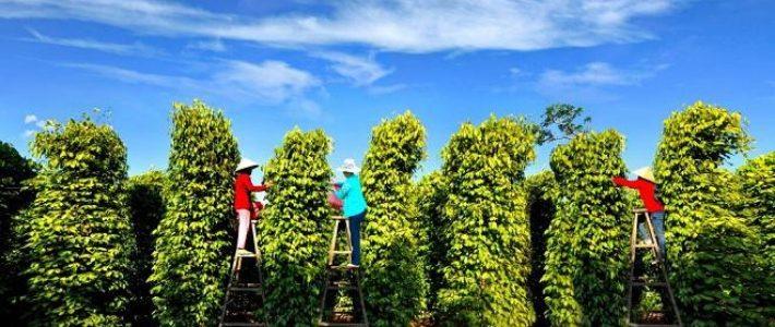 ferme de poivre à Phu Quoc